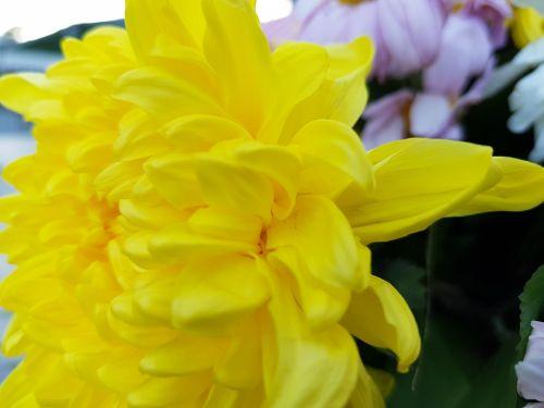 geltonos spalvos & nbsp, žiedlapiai, žiedlapiai & nbsp, fonas, gėlės, žiedlapiai, geltona, geltona dahlia žiedlapiai