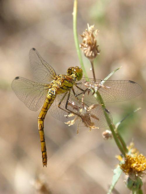 yellow dragonfly sympetrum striolatum stem