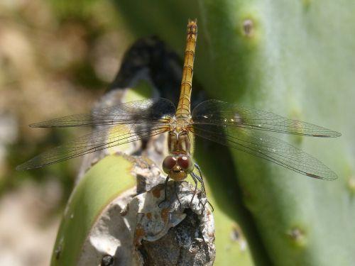 yellow dragonfly sympetrum striolatum cactus