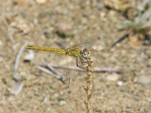 yellow dragonfly dragonfly parot of xarreteres