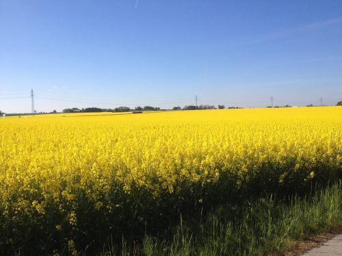yellow fields fields of gold gold