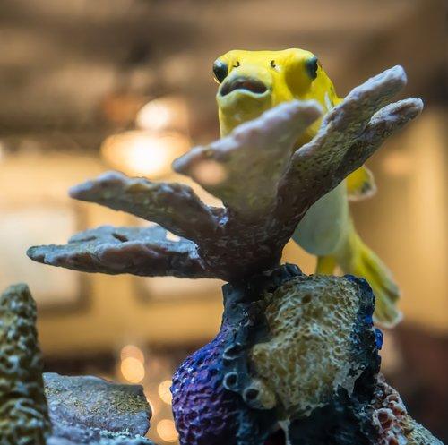 yellow fish  bulging eyes  coral