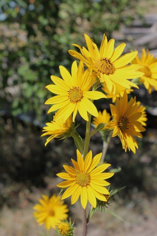 geltona gėlė,gėlės,geltona,gamta,vasara,gėlių,žiedas,spalva,šviesus,sodas,natūralus,žydėti,spalvinga,šviežias,žiedlapis,botanikos,Naujasis Meksikas,Santa Fe,kraštovaizdžio dizainas,ekologiškas sodas,gėlių sodas,žydi,botanikos,augimas,saulėtas,botanika,sodininkystė,Natūralus grožis,gintaro avalona