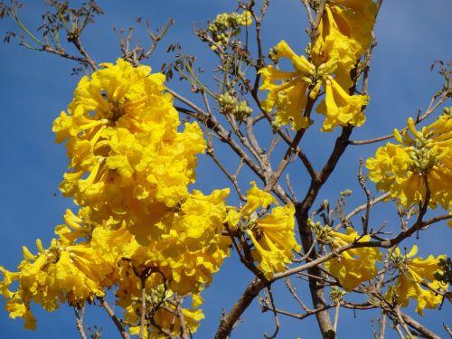 yellow flower yellow ipê flowers
