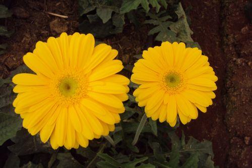yellow flower daisy blossom