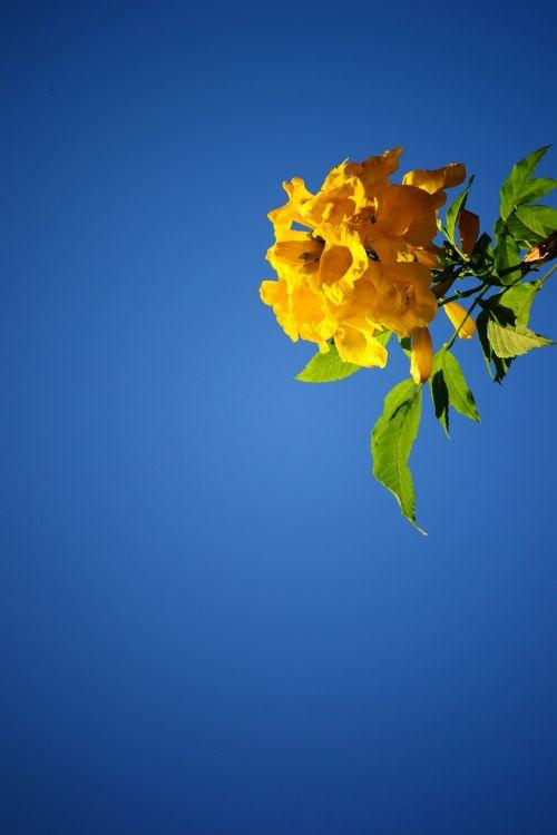 yellow flower blossom blue sky