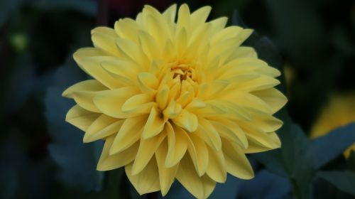 yellow flower swiss luzern