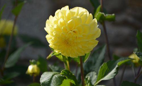 yellow flower dahlia green leaf