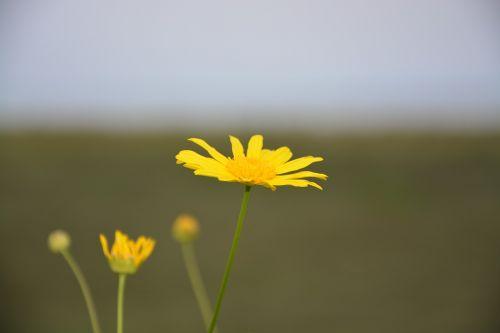 yellow flower marguerite petals