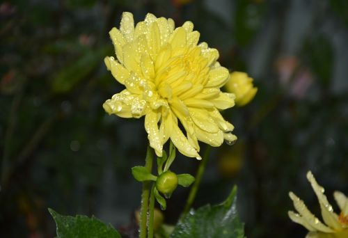 yellow flower petals yellow droplets of water rain