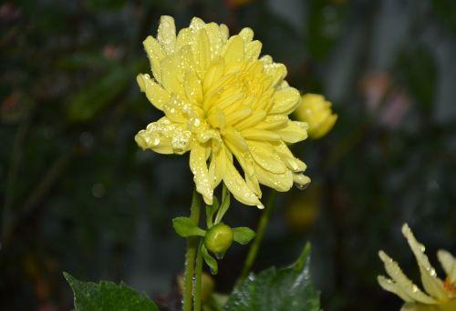 geltona gėlė,žiedlapiai geltoni,vandens lietaus lašeliai,sodas,pavasaris,geltonos gėlės,augalas,puokštė,geltonos žiedlapiai,masyvas,žydėjimas,geltona ramunė,gamta,gėlė,žiedlapiai,geltona buvo,gėlės žiedlapiai