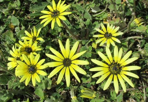 yellow flower daisy cape weed