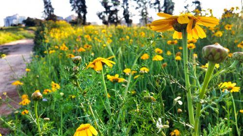 yellow flower israel field