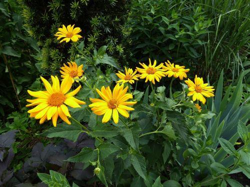 yellow flowers yellow close