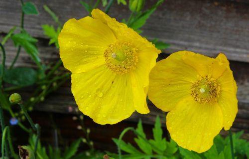 yellow flowers welsh poppy flower