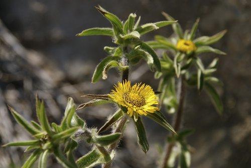 yellow flowers  mediterranean vegetation  medicinal plants
