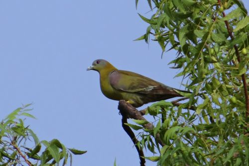 yellow-footed green pigeon treron phoenicoptera yellow-legged green pigeon