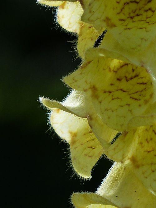 yellow foxglove flower flowers