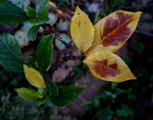 Yellow Gardenia Leaves