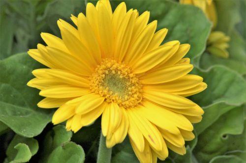 Yellow Gerber Daisy Close-Up