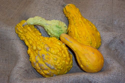 Yellow Gourds Squash