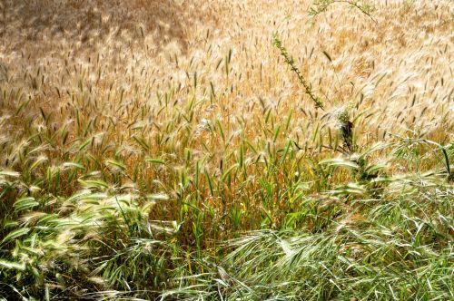 fonas, tapetai, žolė, geltona, žalias, augalas, augalai, lauke, gamta, ruduo, kritimas, aukšta & nbsp, žolė, žolės, auksinis, geltona žolė fone