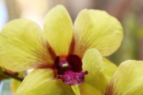 Yellow Green Orchids