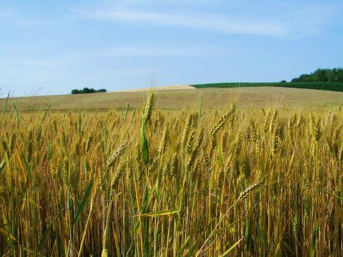 yellow-green wheat grain crops