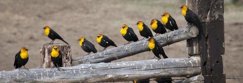 yellow headed blackbirds males birds