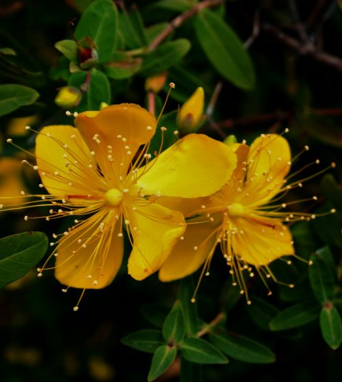 Yellow Hypericum Flowers