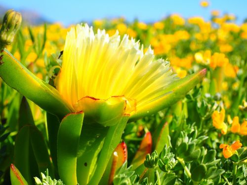 yellow ice plant hottentottenfeige flower