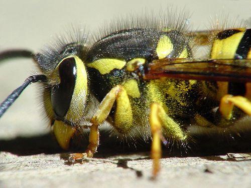 yellow jacket wasp nature