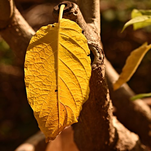 yellow leaf  plant  vein