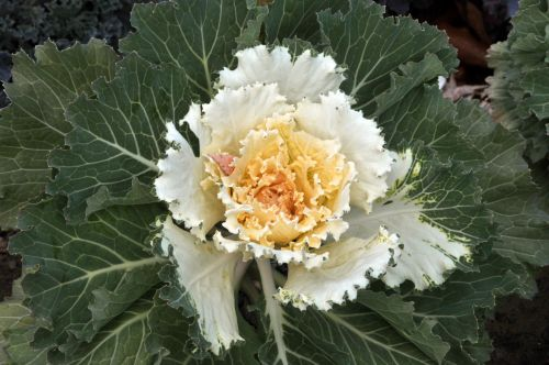 Yellow Leafy Cabbage