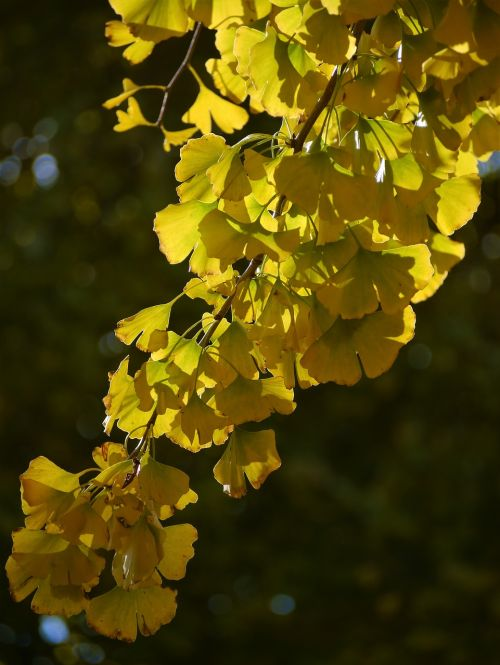 yellow leaves,gingko tree,maidenhair tree,red,huang,green,branch,vein,late autumn,leaf,yokosuka,otsu park,kanagawa japan,japan