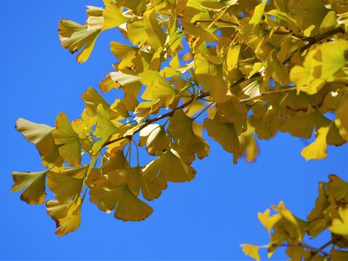 yellow leaves,gingko tree,maidenhair tree,red,huang,green,blue,blue sky,branch,vein,late autumn,leaf,yokosuka,otsu park,kanagawa japan,japan