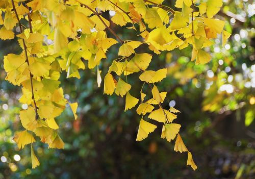 yellow leaves,gingko tree,maidenhair tree,huang,green,branch,vein,late autumn,leaf,yokosuka,otsu park,kanagawa japan,japan