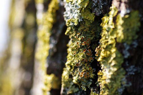 Yellow Lichen