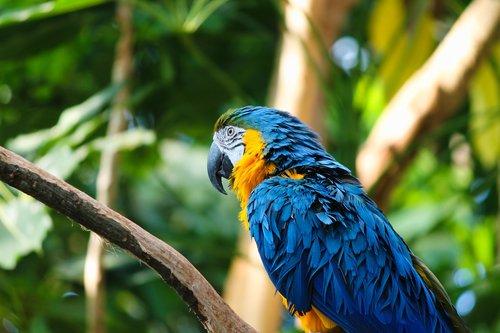 yellow macaw  ara  bird