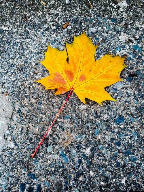 geltonas klevo lapas,ruduo,rudens kolekcija,lauke,klevo lapas,kritimo sezonas,grožis gamtoje