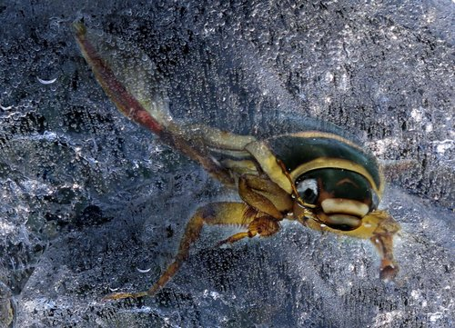 yellow margin beetle  nature  animal