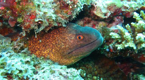 yellow margin moray eel moray eel
