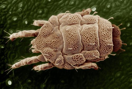 yellow mite macro lorryia formosa