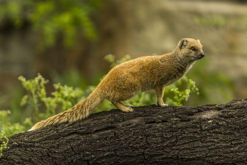yellow mongoose red meerkat cute