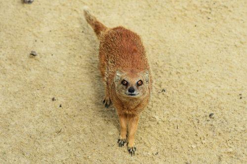 yellow mongoose animal mongoose
