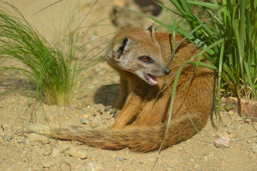yellow mongoose cynictis penicillata africa