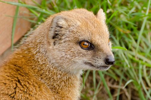 Yellow Mongoose - Animals