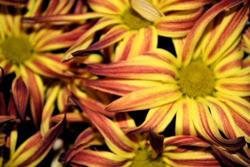Yellow Mum Petals Blossoms Mums
