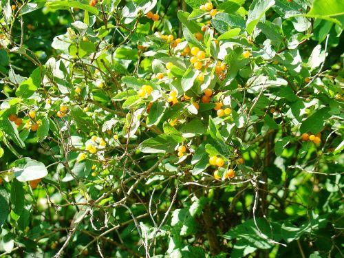 yellow nightshade nature bush