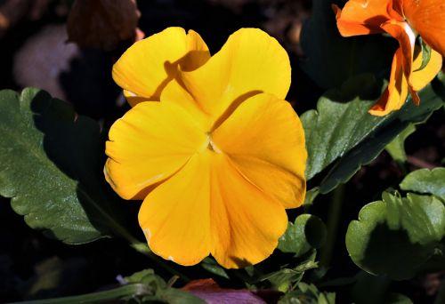 Yellow Pansy Close-up
